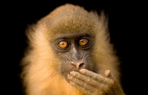 A photo from Bioko Island, Equatorial Guinea, part of The Power of Photography: National Geographic 125 Years exhibit. (Joel Sartore/National Geographic)