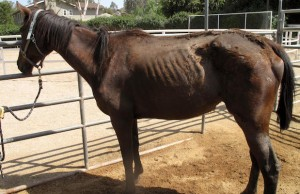 Ruby Red Gala benefits horses like the one pictured above that are rescued by Red Bucket Equine Rescue.