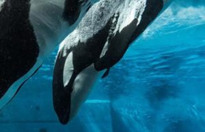 SeaWorld's All Day Orca Play begins March 18.