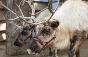 Learn all about reindeer and visit Santa at the Reindeer Romp at the Los Angeles Zoo.